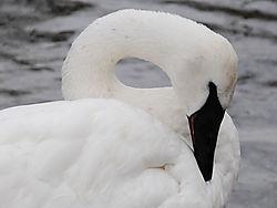 Trumpeter_Swan.jpg