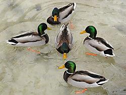 duck_ballet.jpg