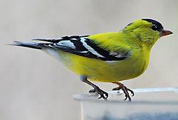 goldfinch3.jpg