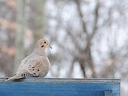 mourning_dove.jpg