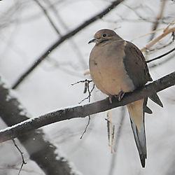 mourning_dove1.jpg