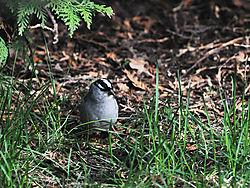 white-crowned_sparrow.jpg