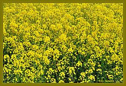 Rapeseed_Flowers_DSC_6069.jpg
