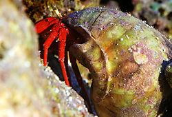 red_crab_large.jpg