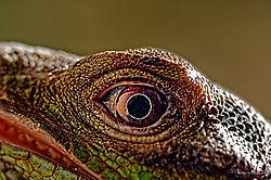 DSC2361_iguana_eye_sm.jpg