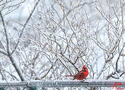 VNM2766_Male_Red_Cardinal_sm.jpg