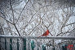 VNM2767_male_red_cardinal_sm.jpg
