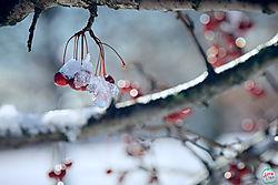 VNM3379_cherries_sm.jpg