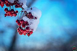 VNM3384_cherries_sm.jpg