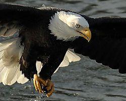 Eagles_at_Brackendale_Kirk_Friederich_cptkirk.jpg