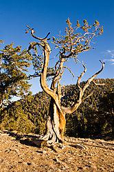091017SierraBristlecone-Forest721.jpg