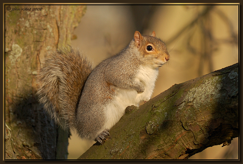 Grey_Squirrel-DSC_9903