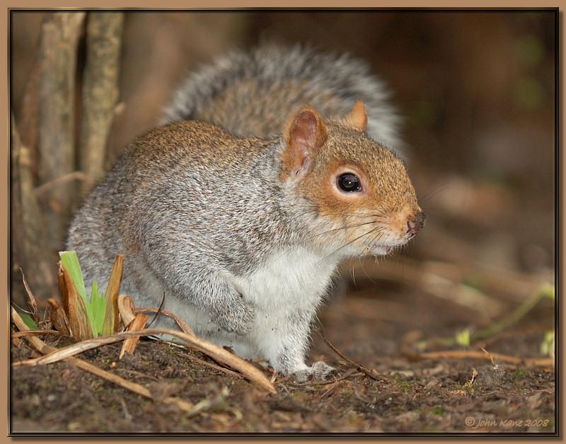 Grey_Squirrel-DSC_9925