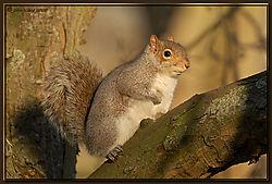 Grey_Squirrel-DSC_9903.jpg
