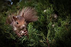 Squirl_in_tree_14_of_12_.jpg