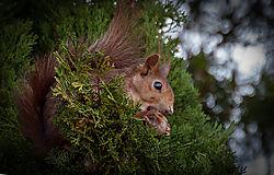 Squirl_in_tree_19_of_12_.jpg
