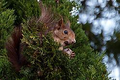 Squirl_in_tree_20_of_12_.jpg