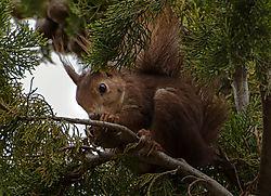 Squirl_in_tree_3_of_4_.jpg