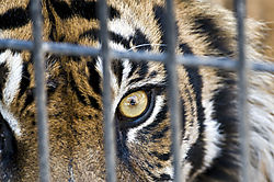 Sumatran_Tiger-caged_copy.jpg