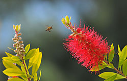 ADP_0667_Honeybee_on_Calystimon.jpg