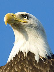 Eagle_Head_-_Homer_5-26-08_DSC_0097_-_WEB_Small.jpg