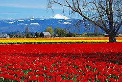 Tulips_069.jpg