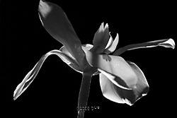 Butterfly_Iris_BWwtmk.jpg