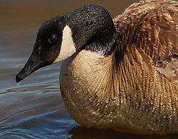 Canada_Goose_PortraitNik.jpg