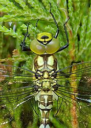Dragonfly-JTK_D50_20080723_184458_DSC_68541.jpg