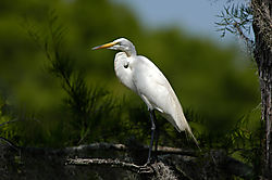 Egret-Caddo-Lake.jpg