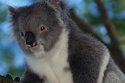 Nrandall_Koala_9.JPG