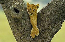 The-little-Lion.jpg