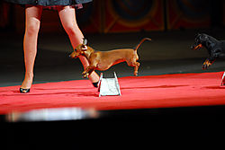 jumping_daschund_ringling_circus.jpg