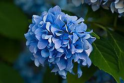 Blue-Hydrangea1.jpg