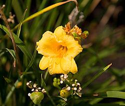 Yellow-Day-Lilly-19-Edit.jpg