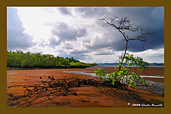 Islated_Mangrove_Tree_in_an_Red_Estuary.jpg