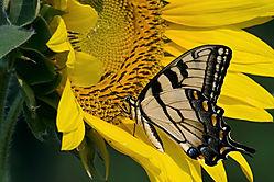 tiger_swallowtail.jpg