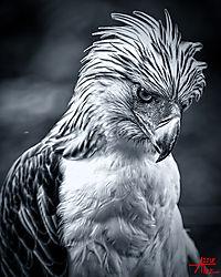 VNM_3359_Philippine_Eagle021_bw_sm.jpg