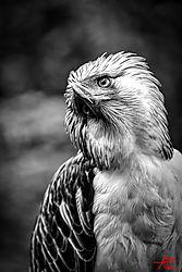 VNM_3413_Philippine_Eagle024_bw_sm.jpg