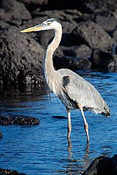 Great-Blue-Heron2.jpg
