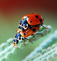 Ladybugs_on_lavender.jpg