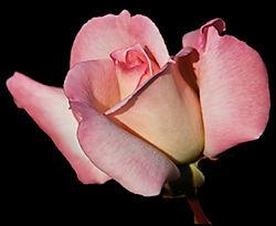 Pink_Rose_of_Hyde_-_Nikonian.jpg