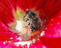 Bee_in_Pollen.jpg