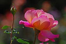 Roses009.jpg