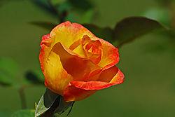Roses015.jpg