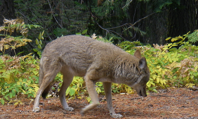 Coyote_IMGP1178