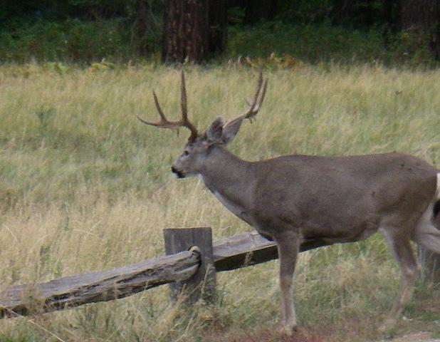 Deer_IMGP1229