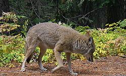 Coyote_IMGP1178.jpg