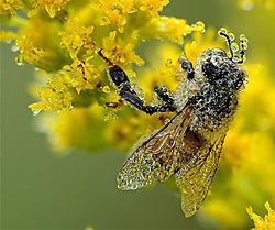 Dew_Covered_Honey_Bee.jpg