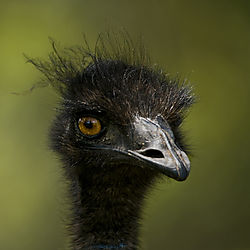 Emu_1000_by_1000_Nikon_Square.jpg
